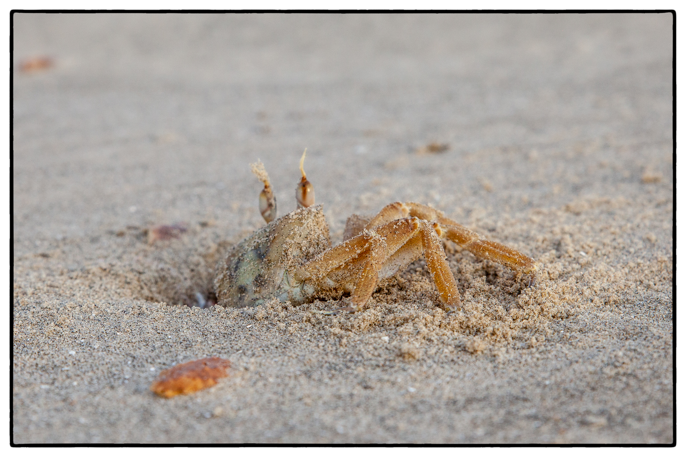 Krabbel Krabbe